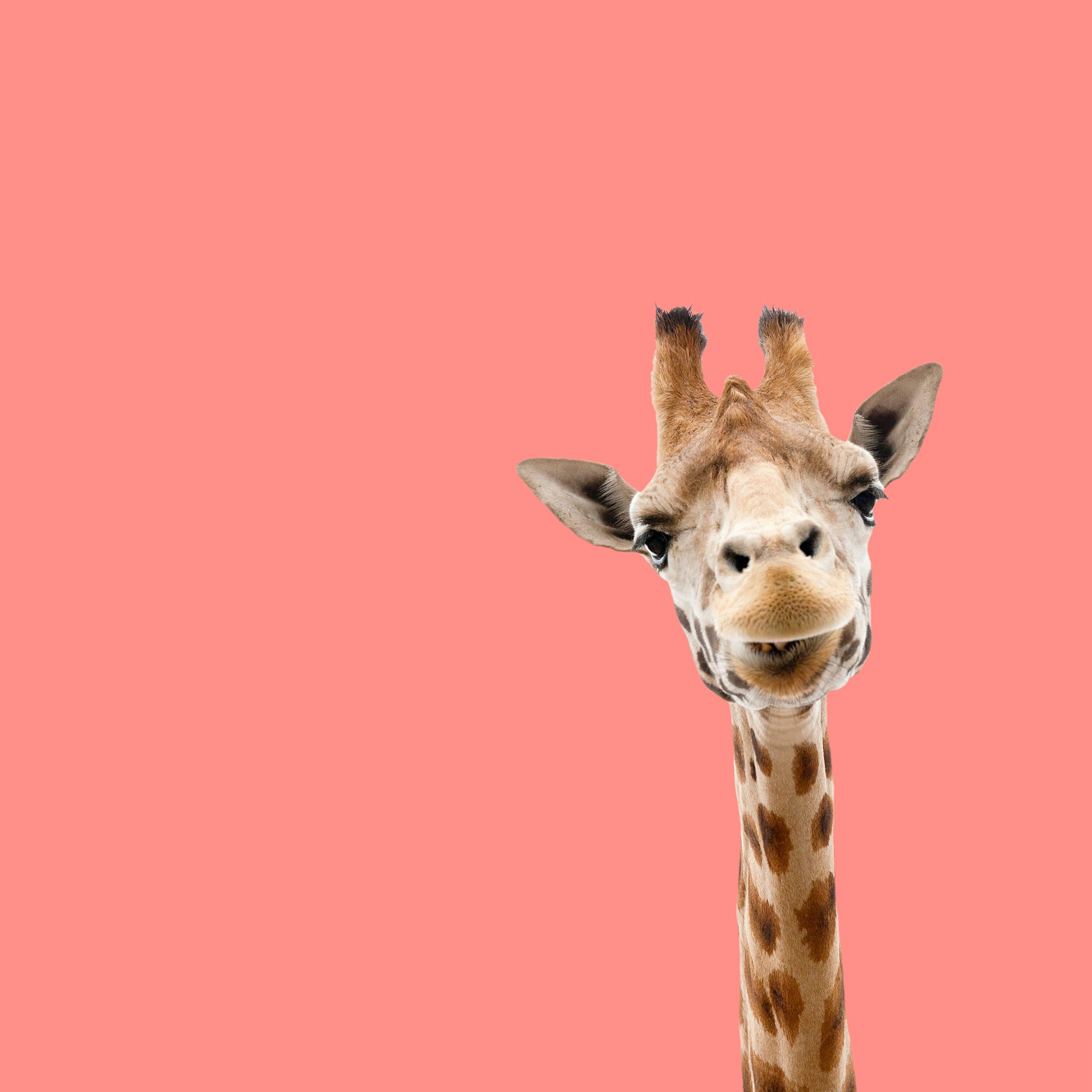 conseo. | Giraffe | Idee